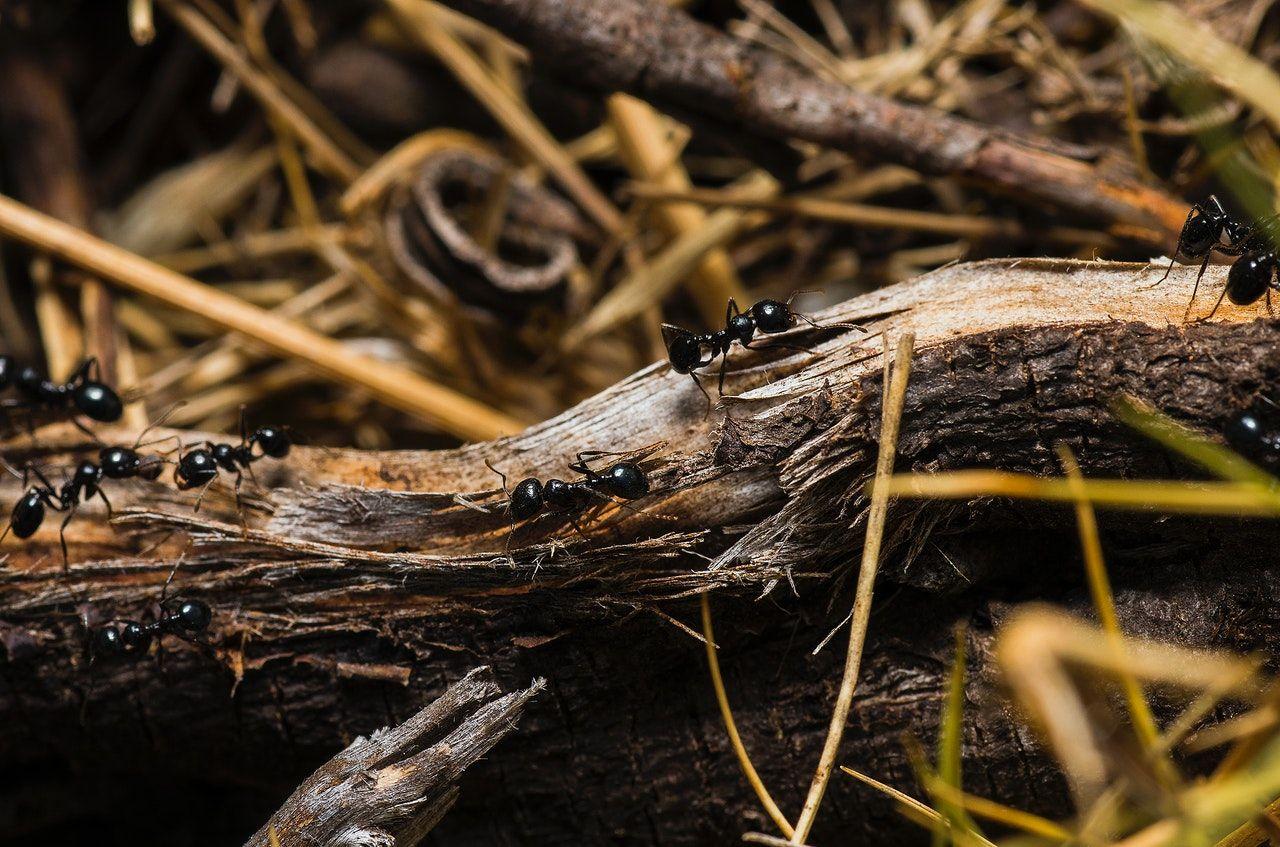 black ants crawling on a log
